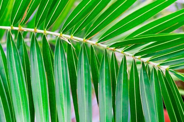 Palmeira com folhas finas. conceito de verão de descanso e relação em clima tropical.