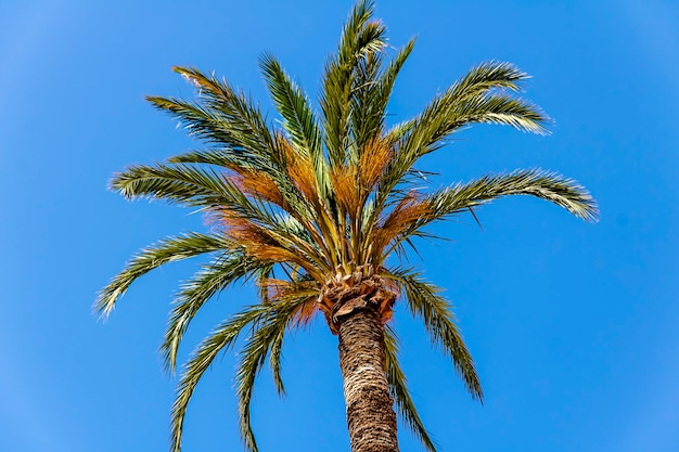 Palmeira com folhas verdes e datas com céu azul em um dia ensolarado.