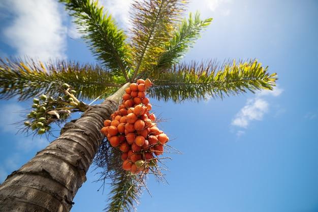 Palmeira com vista em perspectiva de frutas vermelhas de um andar alto.