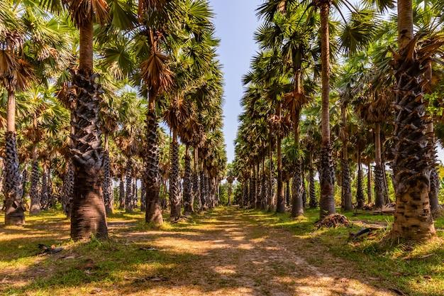 Palmeira de açúcar em um dia ensolarado