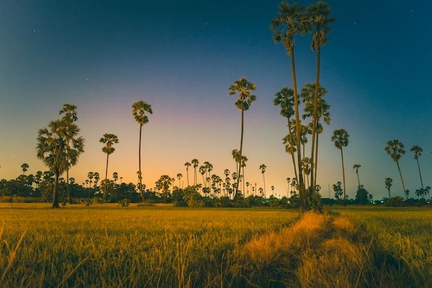 Palmeira de açúcar no campo durante o crepúsculo.