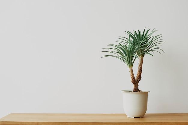Palmeira de agave em fundo cinza