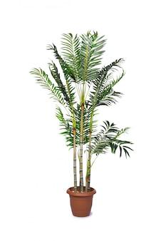 Palmeira de areca isolada no fundo branco