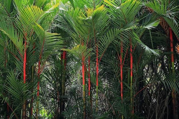 Palmeira de batom na tailândia