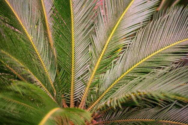Palmeira de brahea do quarto, palma de sago, palma de cycas