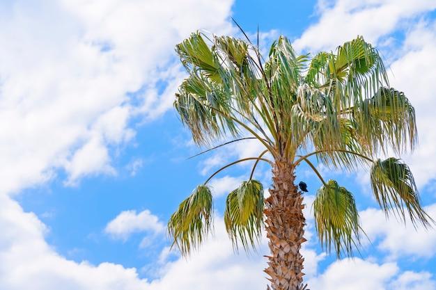 Palmeira de coco contra o céu azul com fundo de nuvens