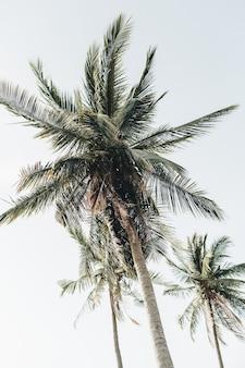 Palmeira de coco exótica tropical de verão contra o céu azul. neutro fresco. conceito de verão e viagens em phuket