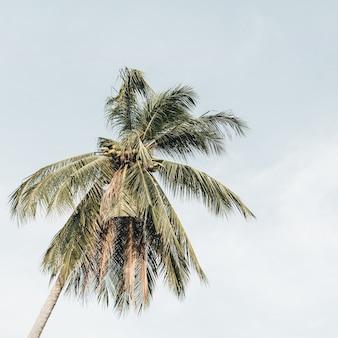 Palmeira de coco exótica tropical solitária contra céu azul em dia de vento