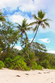 Palmeira de coco na praia arenosa em seyshelles