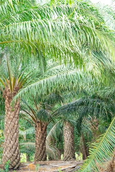 Palmeira de óleo