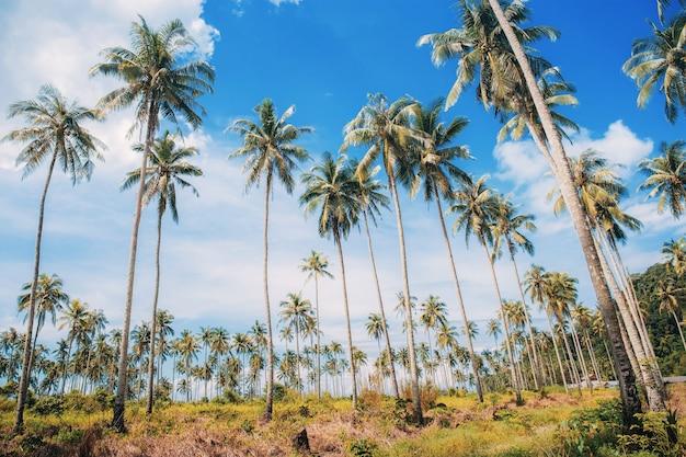 Palmeira em fazenda com céu azul na luz do sol.