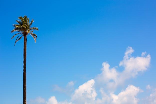 Palmeira estilo de washingtonia califórnia no céu azul
