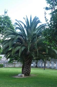 Palmeira grande e linda. uma grande palmeira em um prado verde.
