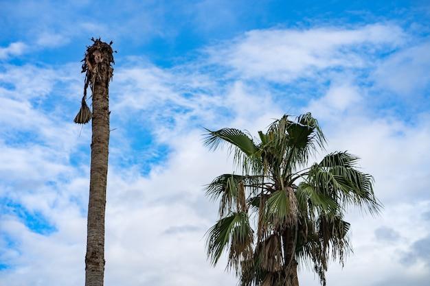 Palmeira morta contra o céu azul com nuvens brancas