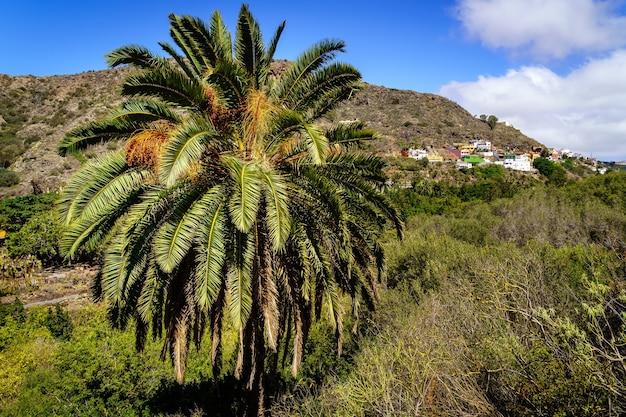 Palmeira nativa da ilha de gran canaria, em relevo insular típico e habitações na encosta da montanha. espanha