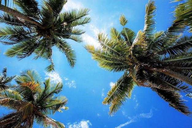 Palmeira no céu azul com luz do sol no verão.