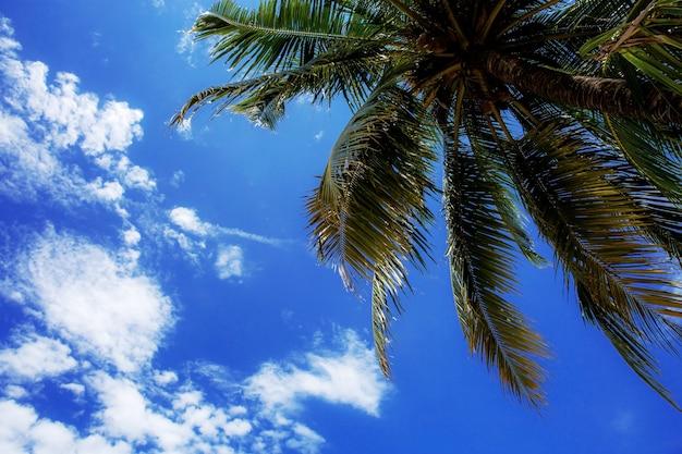 Palmeira no céu azul.