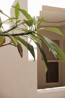Palmeira tropical com folhas verdes exuberantes perto da casa branca, edifício do resort.