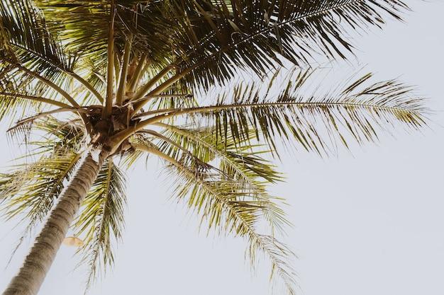 Palmeira tropical de verão contra céu branco. papel de parede em tons retrô e vintage. conceito de verão em phuket, tailândia.