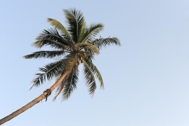 Palmeira verde coco no fundo do céu azul