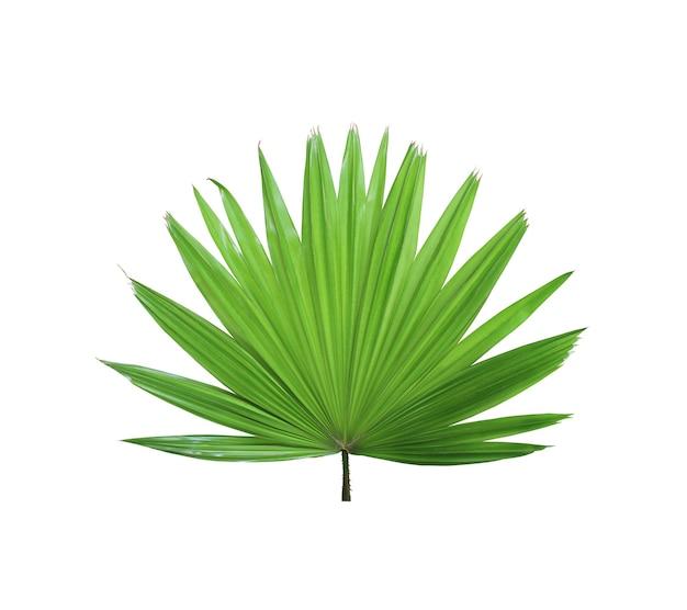 Palmeira verde tropical chinesa