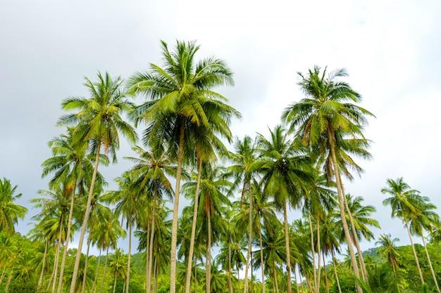 Palmeiral. palmeiras na selva tropical. símbolo dos trópicos e calor