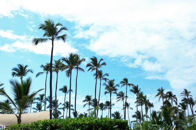 Palmeiras altas e verdes se elevam ao céu azul do verão