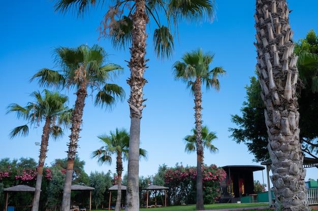 Palmeiras bem plantadas. férias com palmeiras.
