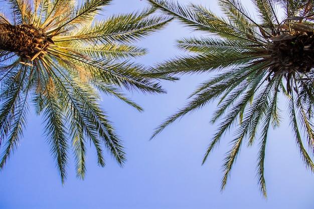 Palmeiras contra o céu azul. trópico de conceito, férias e viagens. vista de baixo