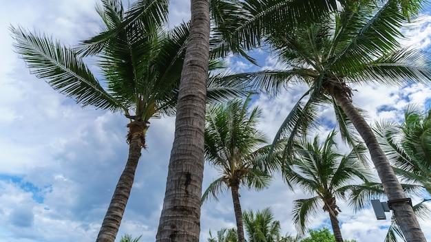 Palmeiras de coco e fundo de céu azul