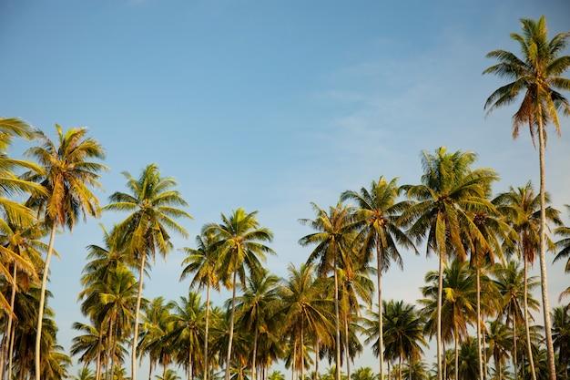 Palmeiras de coco fundo tropical bonito palmeiras do ambiente da natureza em dia ensolarado de verão.