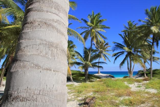Palmeiras de coco praia tropical do caribe