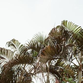 Palmeiras de coco verde tropical de verão contra o céu branco. mínimo isolado com cores quentes vintage e retrô