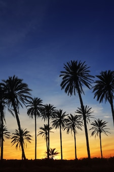 Palmeiras do sol dourado backlight céu azul