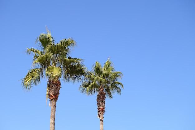 Palmeiras duas peças contra o céu azul em um dia claro