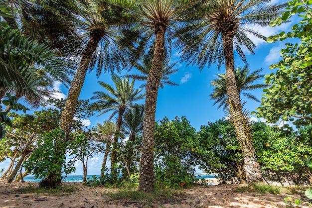 Palmeiras, elevando-se sobre a vegetação em sunset beach