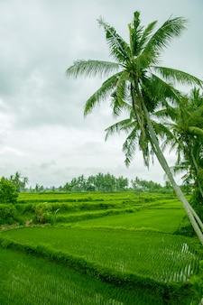 Palmeiras estão acima do terraço de arroz