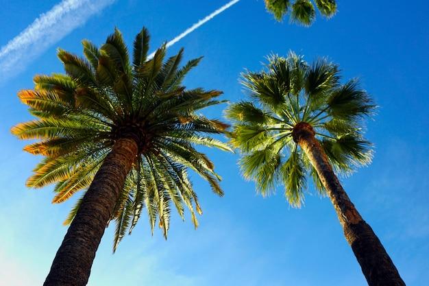 Palmeiras iluminadas pelo sol e vistas de baixo, contra um céu azul com várias trilhas de avião.