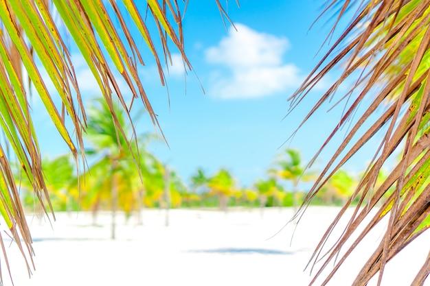 Palmeiras na praia de areia branca. playa sirena. cayo largo. cuba.