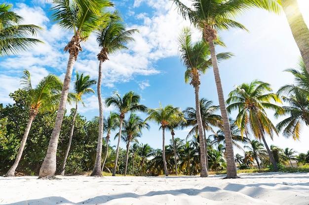 Palmeiras na praia do oceano. palmeiras exuberantes e subdimensionadas crescem em fileiras densas. areia na base das árvores e em primeiro plano. céu azul, nuvens. frente ao mar