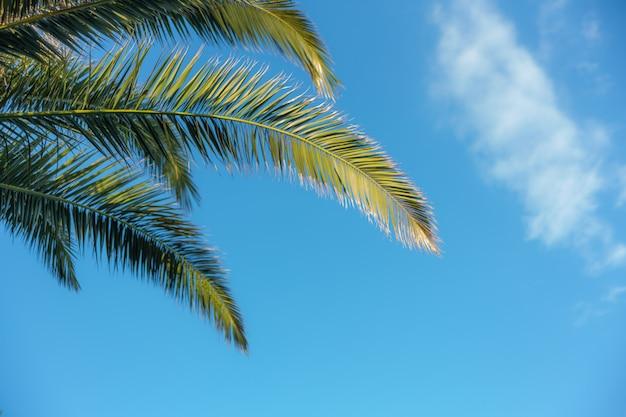Palmeiras no céu azul e nas nuvens brancas. espaço da cópia