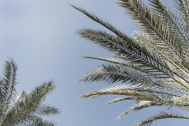 Palmeiras tropicais exóticas de verão contra o céu azul