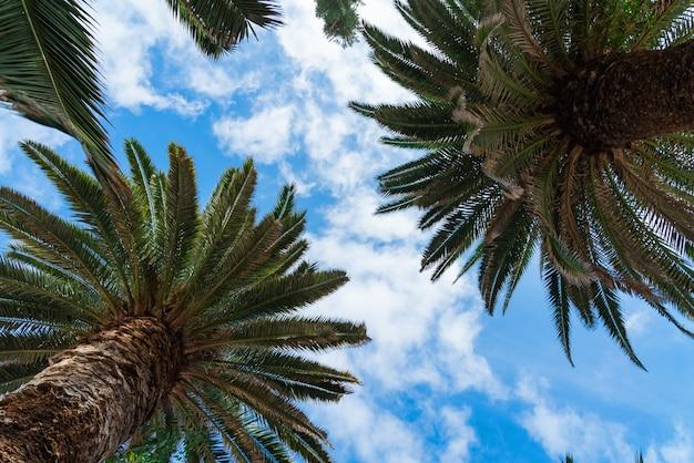 Palmeiras verdes bonitas contra o céu ensolarado azul com fundo das nuvens claras.