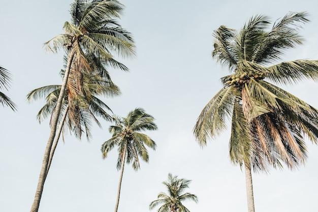 Palmeiras verdes exóticas tropicais solitárias contra o céu azul em dia de vento. neutro. conceito de verão e viagens em phuket