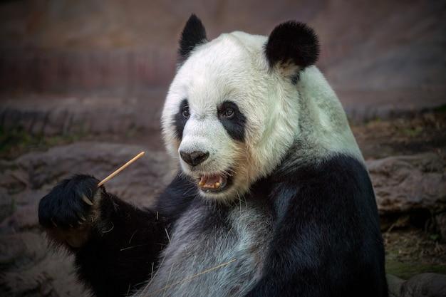Panda comendo comida na atmosfera natural do zoológico.