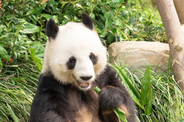 Panda está comendo folha de bambu para o almoço