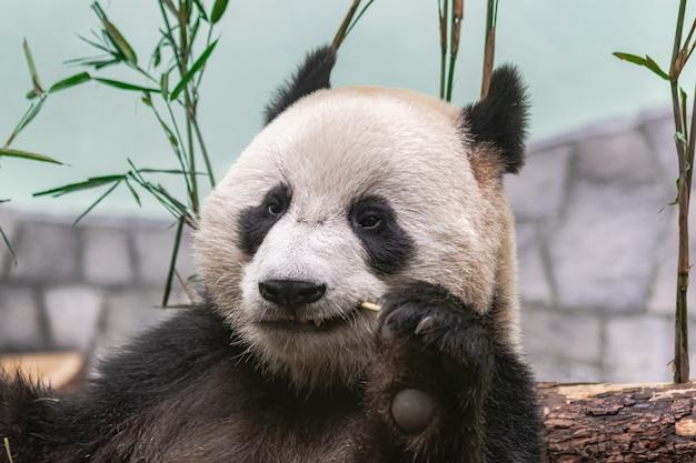 Panda gigante (ailuropoda melanoleuca)
