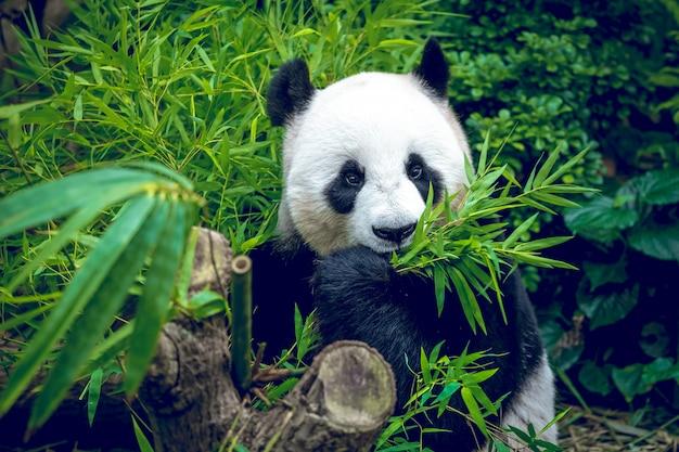 Panda gigante com fome
