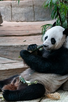 Panda gigante come bambu no parque.