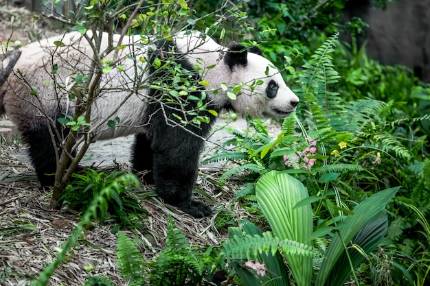 Panda gigante